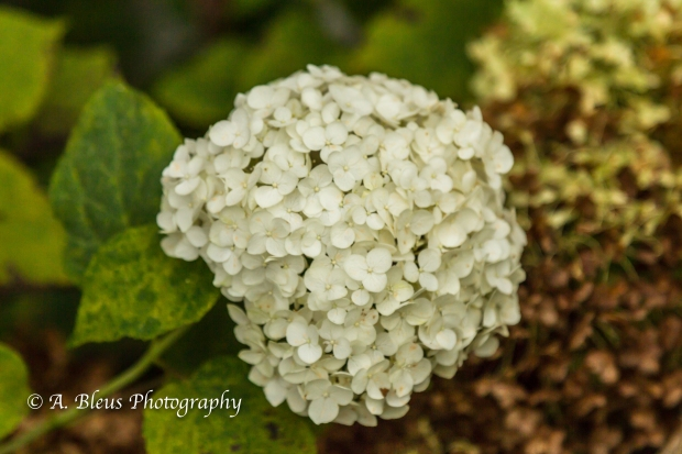 Wild Flowers- Woodstock, Vermont-5