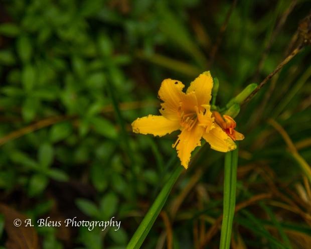 Wild Flowers- Woodstock, Vermont-6