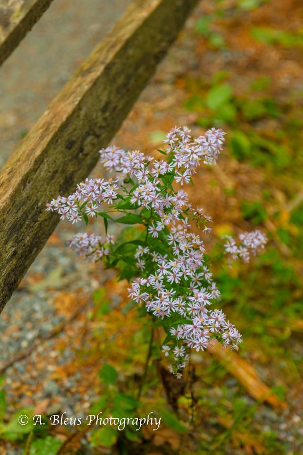 Wild Flowers- Woodstock, Vermont-7