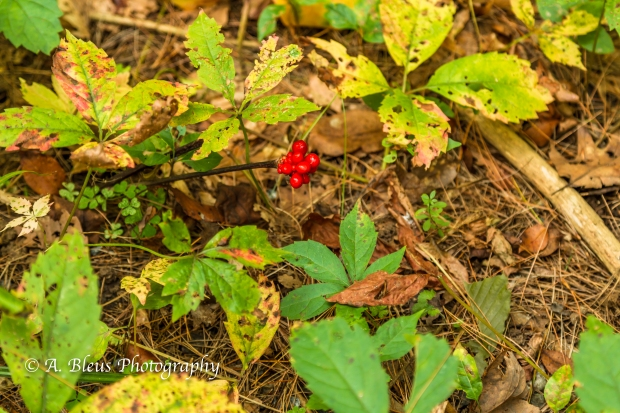 Wild Flowers- Woodstock, Vermont-8
