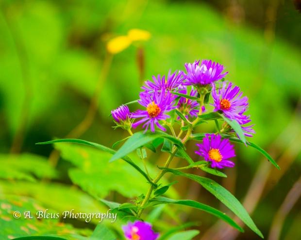 Wild Flowers- Woodstock, Vermont-9
