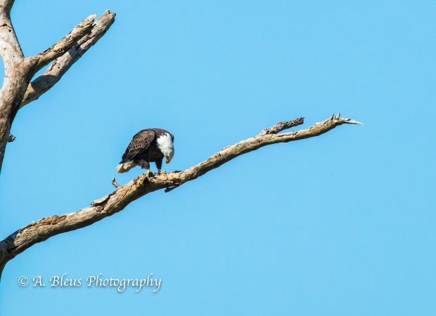 Bald Eagle of Fort Myers on dead tree branch, IMG_3240