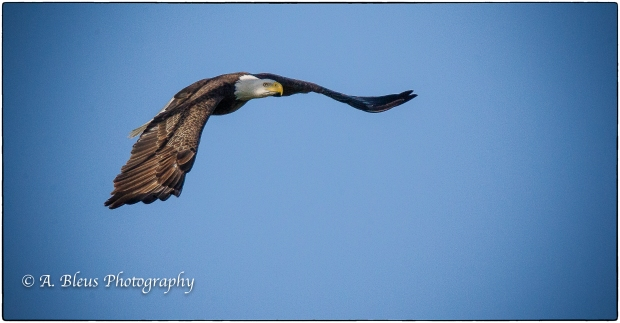 Bald Eagle of Fort Myers_ 93E4799