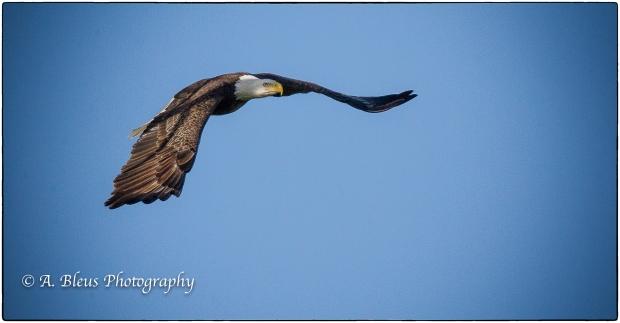 Bald Eagle of Fort Myers_ 93E4799