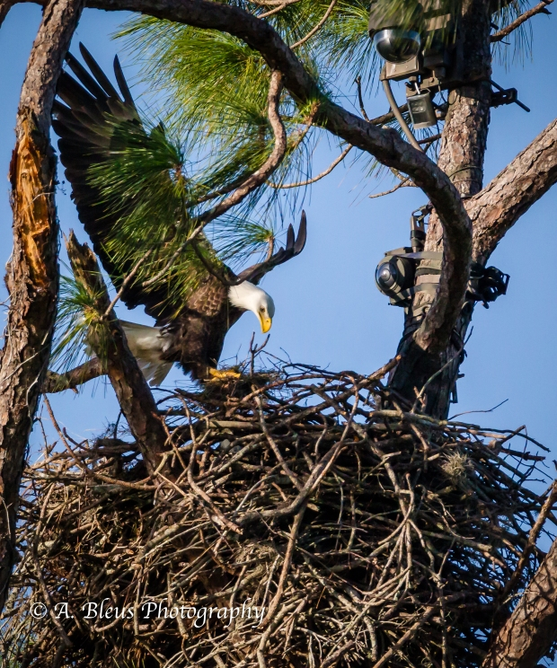 Bald Eagle of Ft. Myers landing in nest_93E4764
