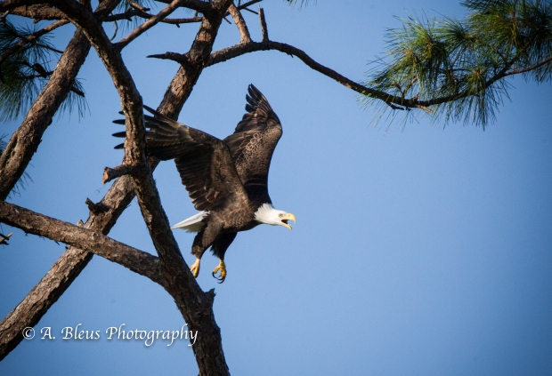 Bald Eagle of Ft. Myers ltaking off_93E4795