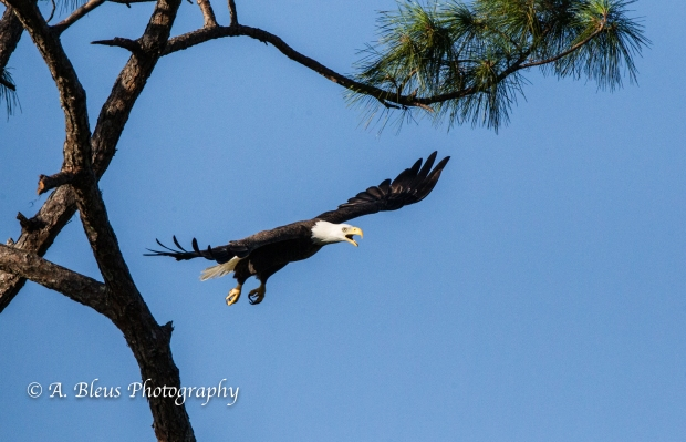 Bald Eagle of Ft. Myers ltaking off_93E4796