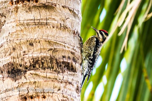Downy Woodpecker, MG_1547