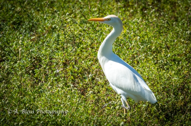 Egret on the ground IMG_3233