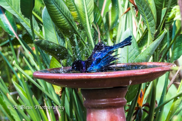 Grackle taking a bath, MG_1836-6