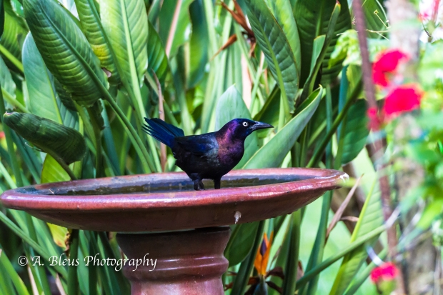 Grackle taking a bath, MG_1836
