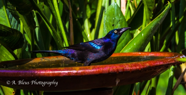 Great-tailed grackle, MG_1905