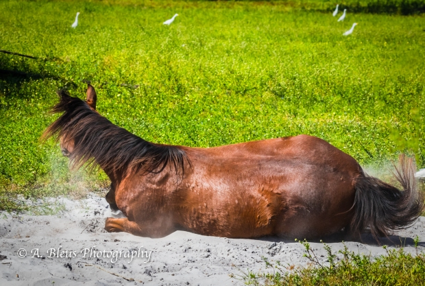 Horse Dust bathing, IMG_3272-2