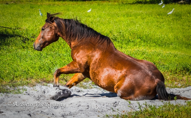 Horse Dust bathing, IMG_3272-4