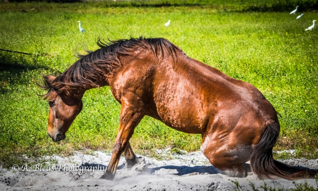 Horse Dust bathing, IMG_3272-5