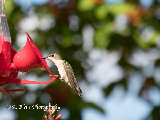 Hummingbirds on Feeder, IMG_2363-2