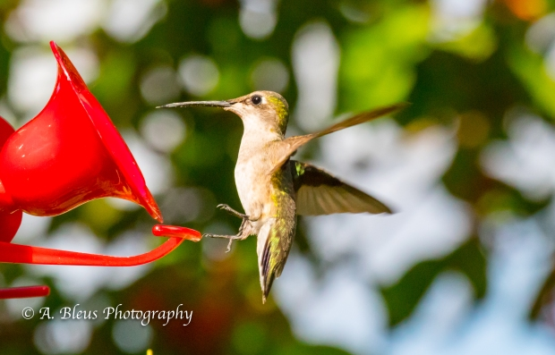 Hummingbirds on Feeder, IMG_2363-3