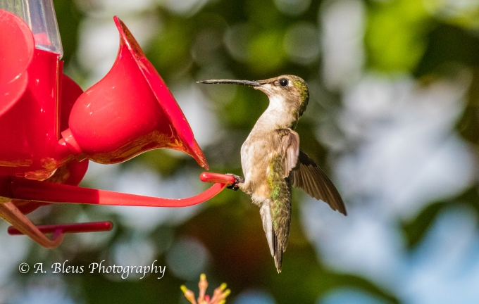Hummingbirds on Feeder, IMG_2363