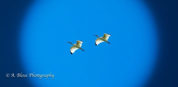 Ibises in Flight, IMG_3154