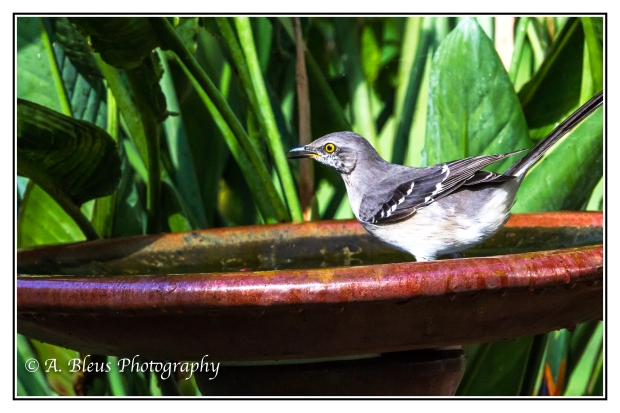 Jumping in the bird bath, MG_1932-2