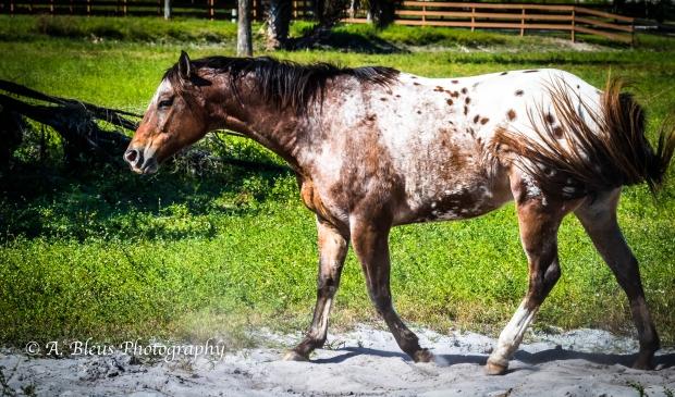 More Horse Dust bathing, IMG_3381-10
