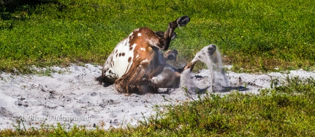 More Horse Dust bathing, IMG_3381-2