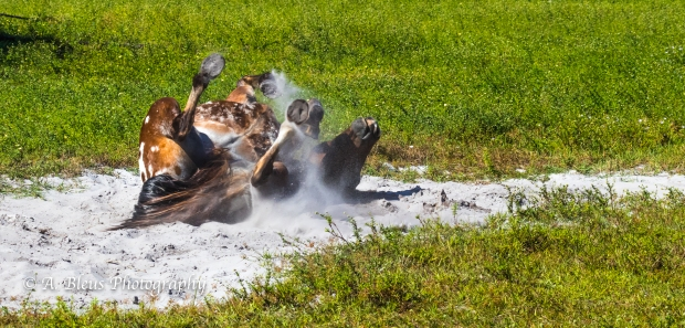More Horse Dust bathing, IMG_3381-6