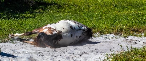 More Horse Dust bathing, IMG_3381-8