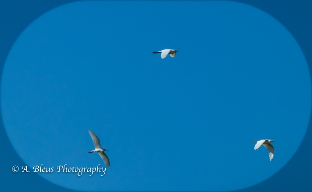 Three Ibises in Flight, IMG_3266