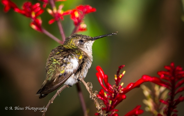 A quivering Hummer, MG_6856