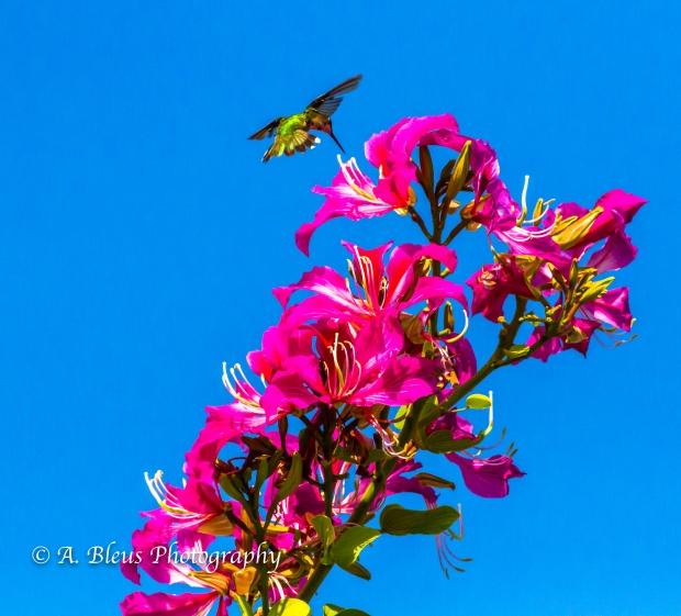 Bauhinia × blakeana Flower, MG_5711-3
