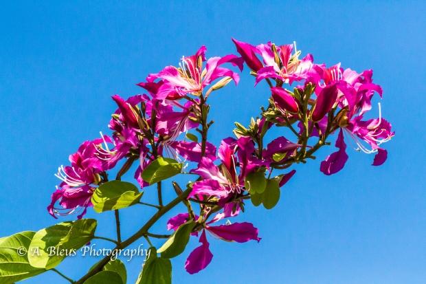 Bauhinia × blakeana Flower, MG_5711