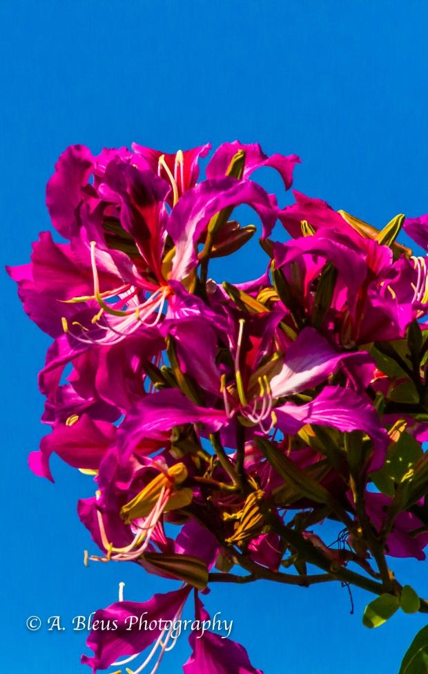 Bauhinia × blakeana Flower, MG_6106