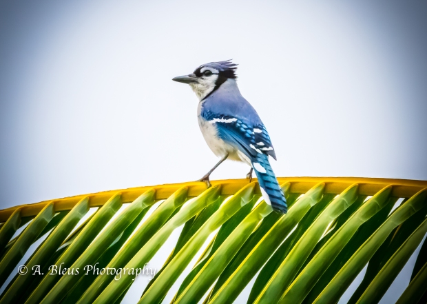 Blue Jay on Coconut Tree Branch, MG_2153