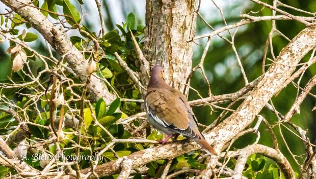 Doves, MG_2201-2