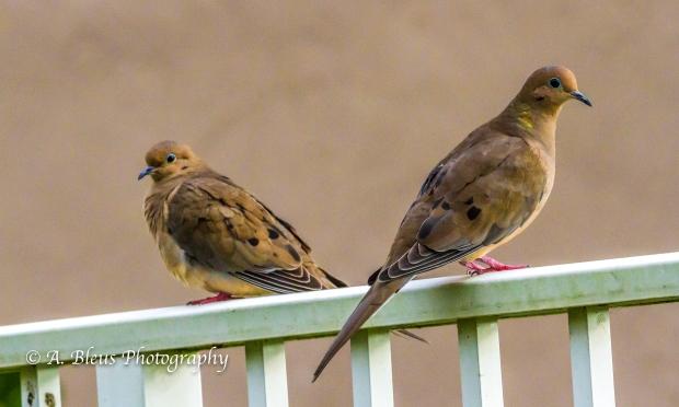 Doves, MG_2201-3