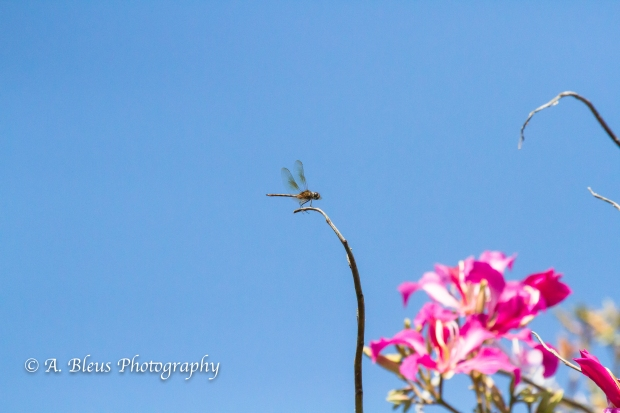 Dragonfly on Bauhinia × blakeana Tree Branch, MG_5740