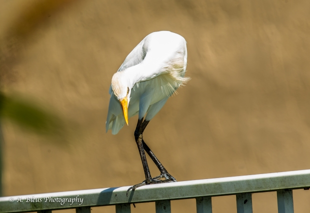 Egret on my Fence_ 93E6729-2