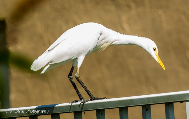 Egret on my Fence_ 93E6729