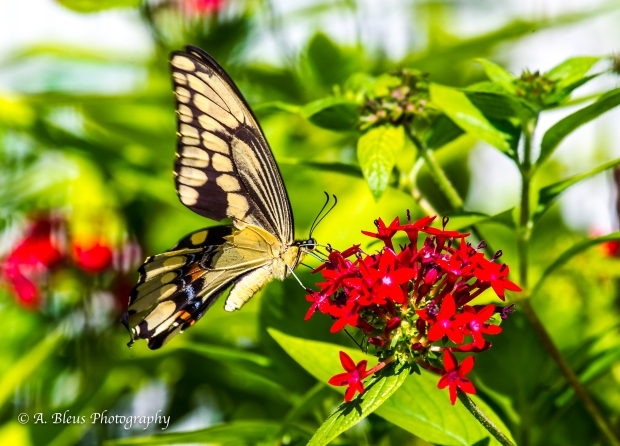 Giant Swallowtail Butterfly, 93E6717