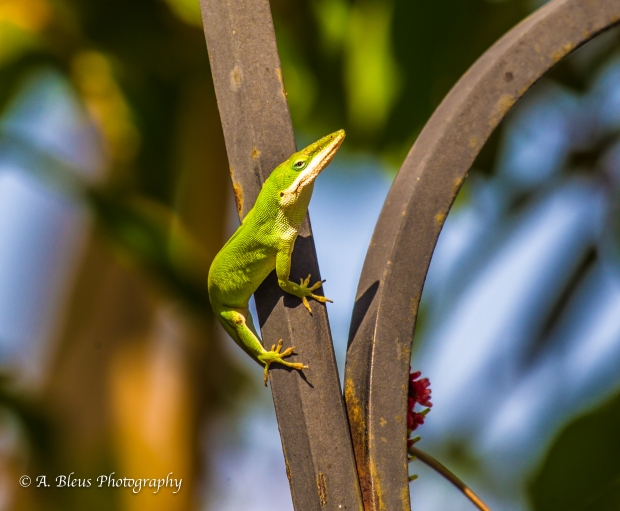 Green Anole on Feeder_ 93E6732-2