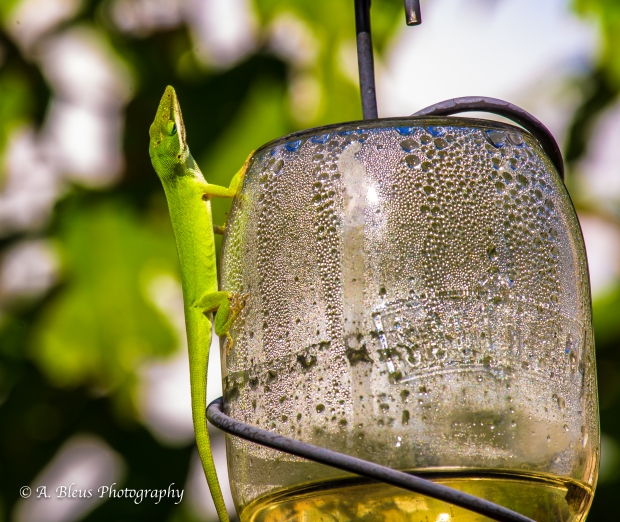 Green Anole on Feeder_ 93E6732-4