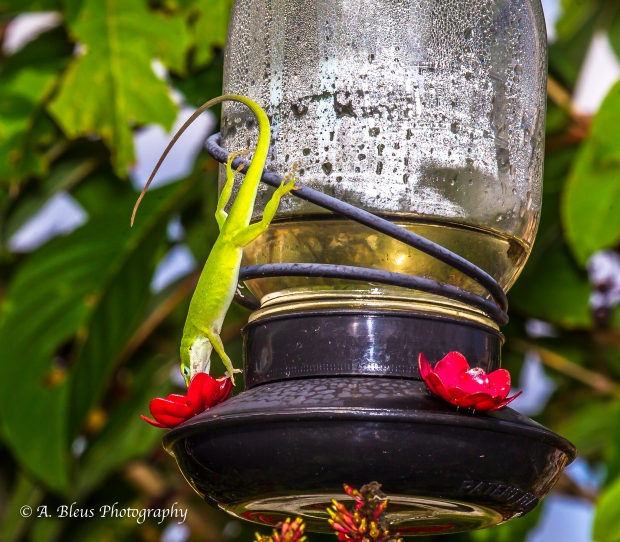 Green Anole on Feeder_ 93E6732-9