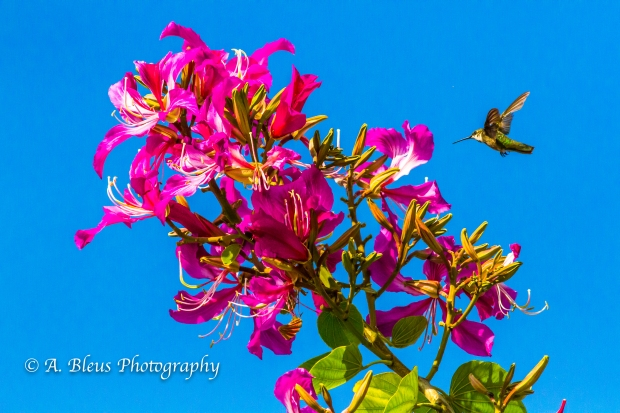 Hummingbird on Bauhinia × blakeana Flower, MG_6128-1