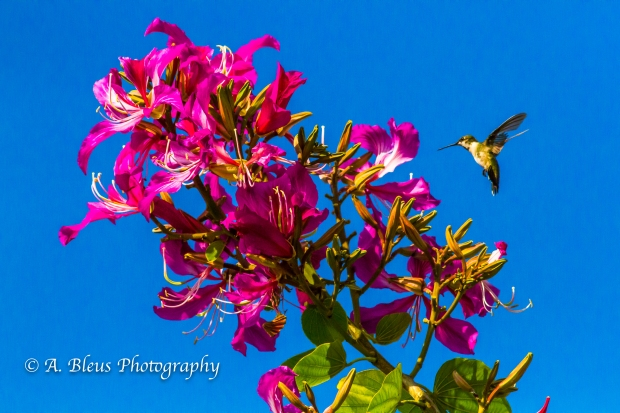 Hummingbird on Bauhinia × blakeana Flower, MG_6128-2