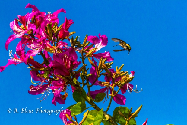 Hummingbird on Bauhinia × blakeana Flower, MG_6128-3