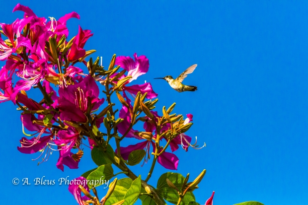 Hummingbird on Bauhinia × blakeana Flower, MG_6128-4