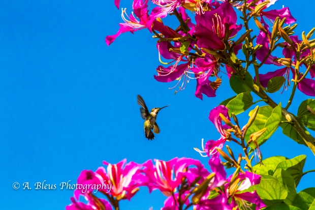 Hummingbird on Bauhinia × blakeana Flower, MG_6128-5