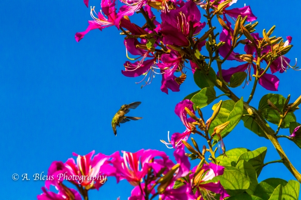 Hummingbird on Bauhinia × blakeana Flower, MG_6128-6