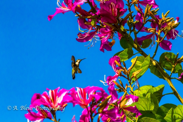Hummingbird on Bauhinia × blakeana Flower, MG_6128-7